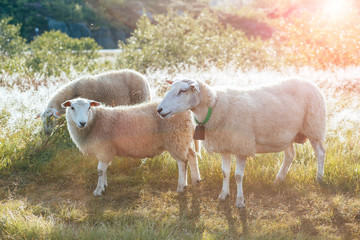 Family of three norwegian sheep and lambs with bell on neck at meadow in the morning.