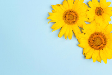 Yellow sunflowers on blue background with copy space.