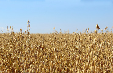 a large field of rye in the summer before harvesting