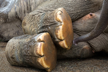 Foot of Asian Elephant.