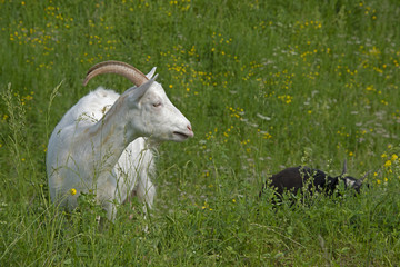 ANIMALS - goats are grazed