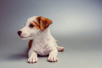 Jack Russell Terrier puppy lying down