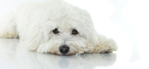 LITTLE MALTESE DOG LYING DOWN WITH SAD EXPRESSION ISOLATED ON WHITE BACKGROUND