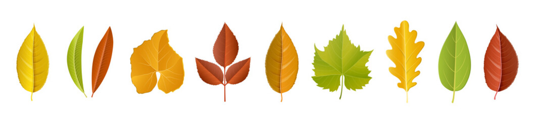 Autumn leaf collection with different fall color, and specie, including cherry tree leaf, oak, rose, grapes, pumpkin. Vector illustration, horizontal banner, isolated on white for fall season design