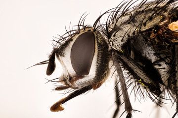 Focus Stacking - Nowickia ferox, Tachina ferox, Tachinidae, Fly