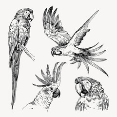 Set of hand drawn sketch black and white vintage exotic tropical bird parrot macaw and cockatoo. Vector illustration isolated object