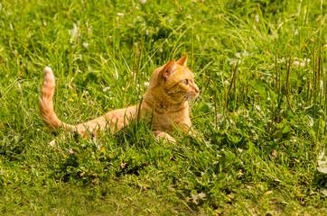 Ginger cat lies on a green grass background.