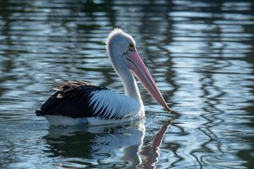 Pelican cruising the lake