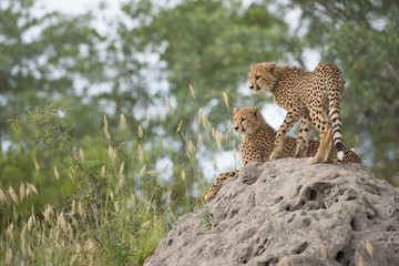 A vertical, colour photo of two cheetah cubs, Acinonyx jubatus, resting on a termite mound in the Greater Kruger Transfrontier Park, South Africa.