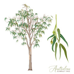 Eucalyptus Tree Vector Illustration