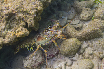 Caribbean Spiny Lobster hidding