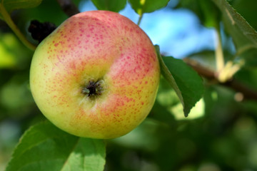 Ripe apple on a branch of the tree in the garden