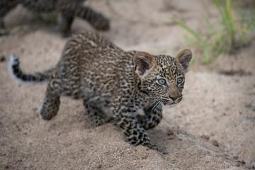 Leopard cub stalking