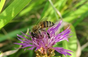 Bee on a violet flower