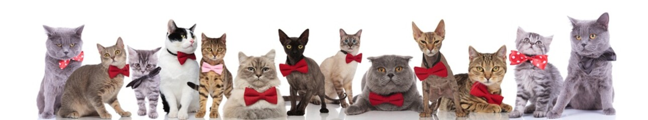 large team of elegant cats wearing red bowties