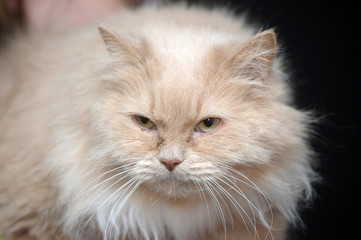 beautiful fluffy peach cat