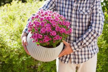 man gardener holding chrysanthemum flowers in flowerpot in garden