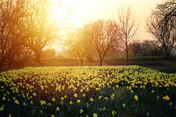 Garden Poster Narcissus Beautiful Daffodils Narcissus Field in Sunset