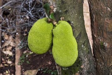 Jackfruit hanging on tree in Kampala, Uganda, Africa
