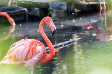 Flamant rose - Phoenicopterus roseus - Greater Flamingo