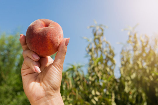 a large ripe peach in a female hand against a blue sky and peach trees, a sweet fruit