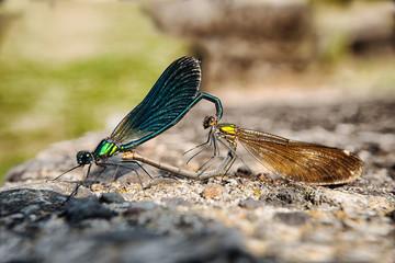 deux libellules s'accouplent sur une pierre