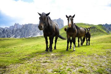 Horses grazing in Dolomites Alps