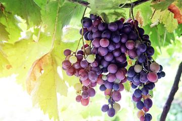 Natural Organic Grape in Vineyard Fototapete