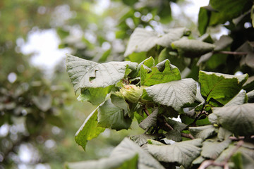 Beautiful Hazelnut on tree with leafs closeup