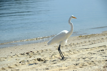 White heron standing on the beach