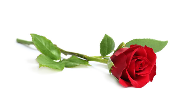 Beautiful red rose flower on white background