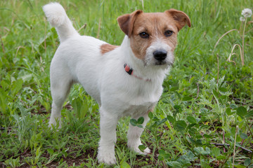 Cute jack russell terrier is looking at the camera.
