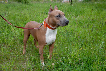 Cute american staffordshire terrier puppy is standing on a green meadow. Five month old.