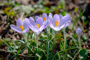 Flowering violet Crocuses under bright sunlight in early Spring forest.