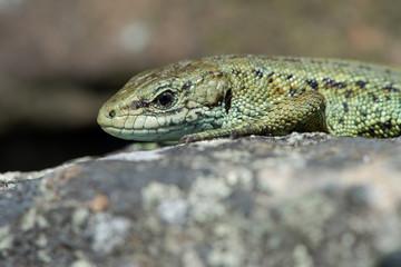 Viviparous Lizard (Zootoca vivipara)/Common Lizard basking on lichen covered stone wall