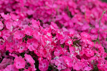 A great amount of pink flowers