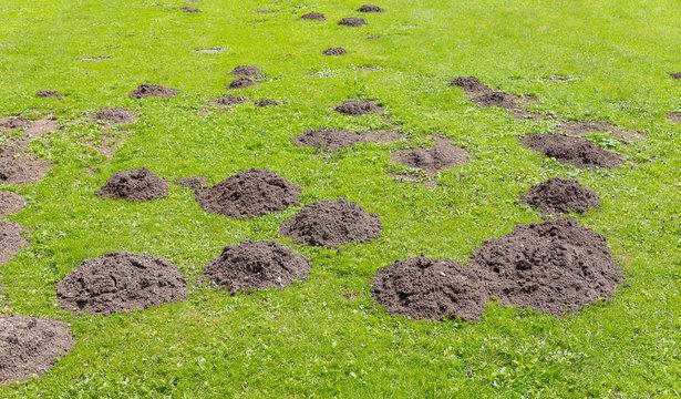 Frische Maulwurfshügeln auf der Gartenwiese.