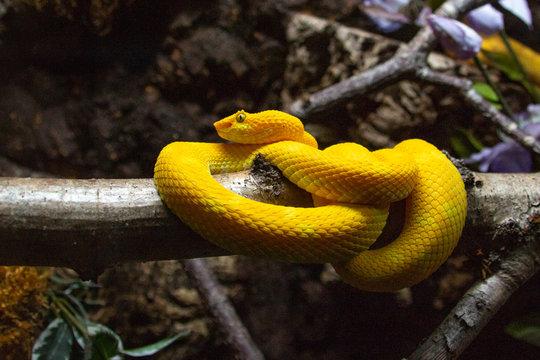 Bothriechis schlegelii the eye lash viper snake
