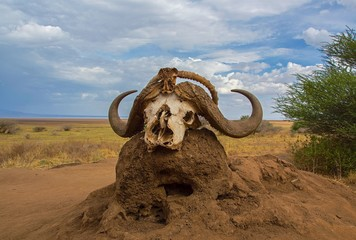 African black Cape buffalo