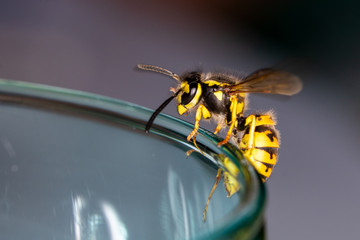Wasp on a glass - danger in the summer