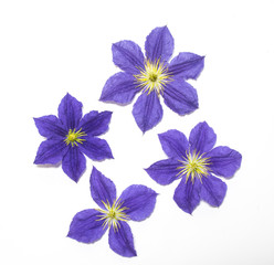Pretty Clematis Flower and Petals on White Background