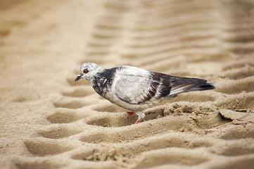 Pigeon on sand