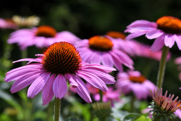 Echinacea flowers in bloom