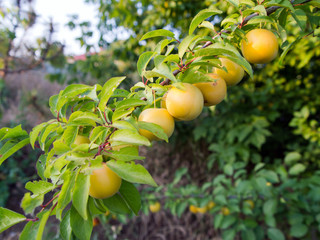 The fruits of cherry plum yellow on the branch, among the green foliage. Fruit plant of the genus plum. Prúnus cerasífera.OLYMPUS DIGITAL CAMERA