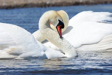 Swans courting ritual