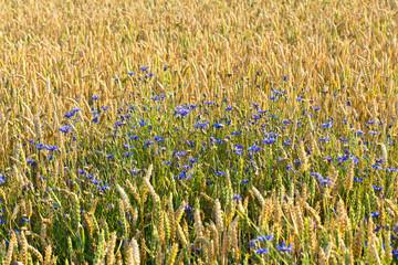 Kornblumen im Getreidefeld - biologische Landwirtschaft