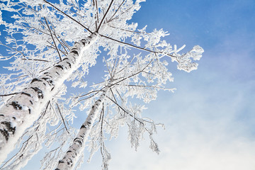 Poster de jardin Bosquet de bouleaux birch covered with hoarfrost