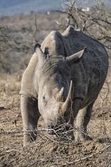 white rhino in the bush