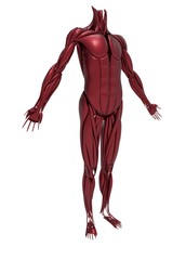 3d illustration of human muscles