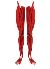3d illustration of human legs muscles